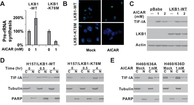 LKB1 kinase activity is required for the nuclear accumulation of TIF-IA after AICAR treatment.