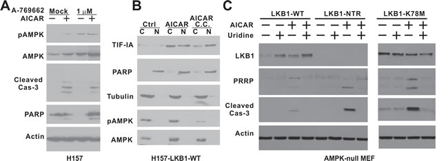 The kinase activity of LKB1 is required to rescue AMPK-null MEF cells from AICAR-induced apoptosis.
