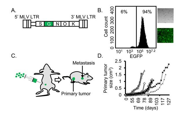 Efficient establishment of mutagenized BC cells.