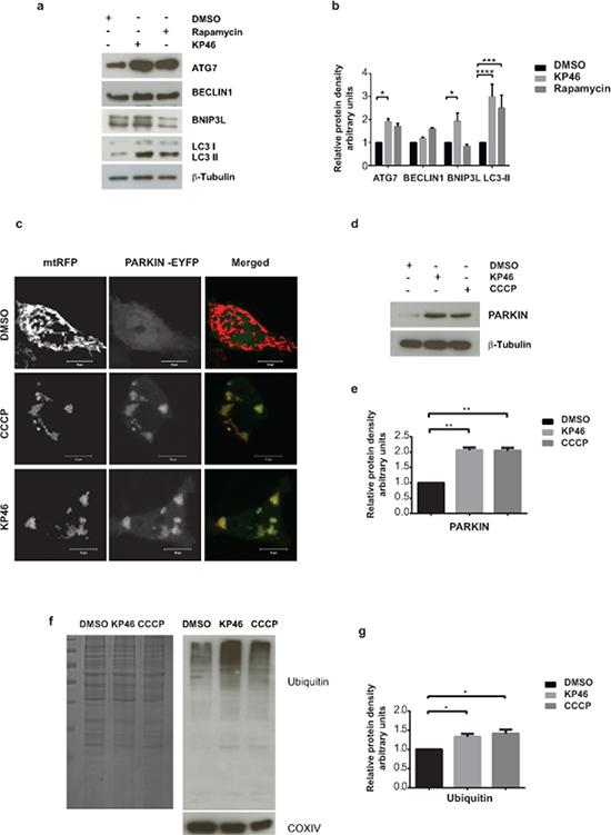 KP46 activates autophagy, PARKIN and ubiquitination a–b.
