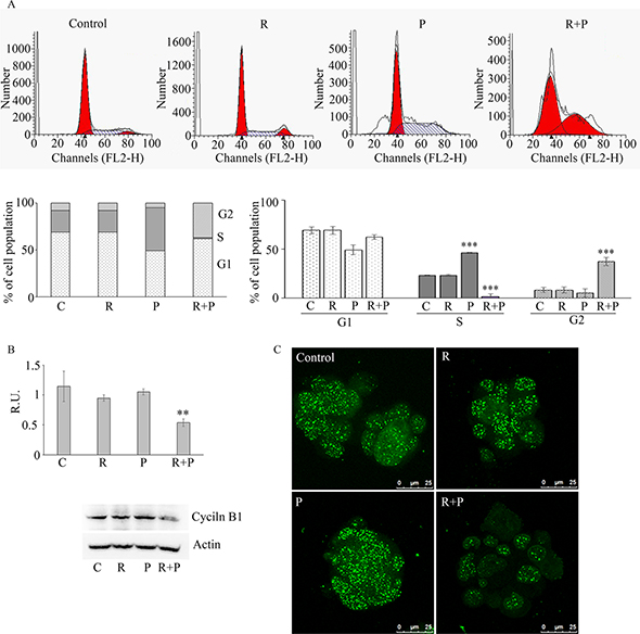 In (A) cytofluorimetric analyisis of cell cycle on control and treated mammospheres.