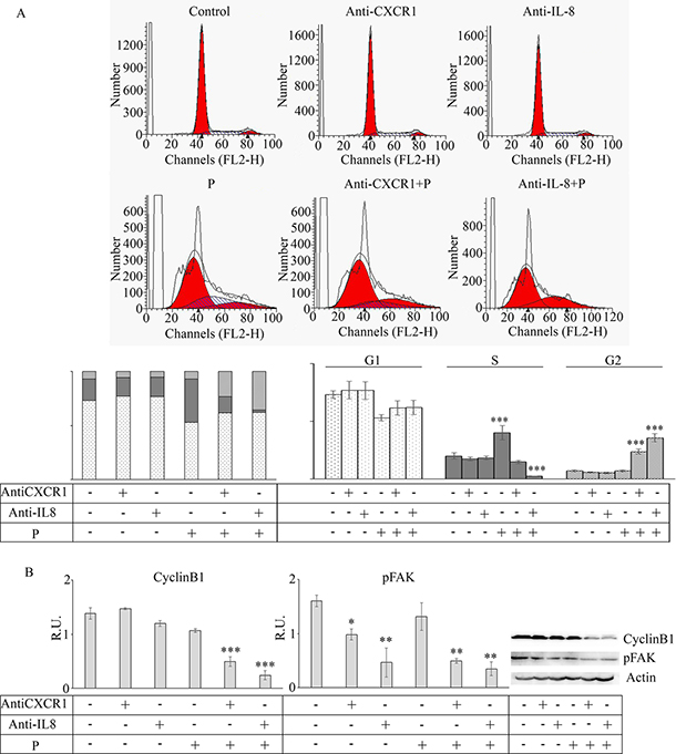 Effect of anti-CXCR1 and anti-IL8 neutralization on mammospheres.