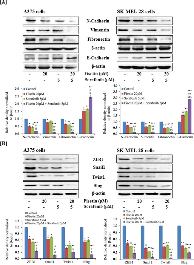 Effect of fisetin, sorafenib and their combination on protein expression of EMT-markers and EMT-inducers in BRAF-mutated melanoma cells.