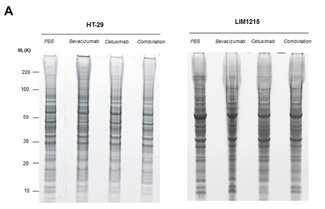 Proteomic characterisation of HT-29 and LIM1215 tumour xenografts in response to cetuximab and/or bevacizumab treatment.