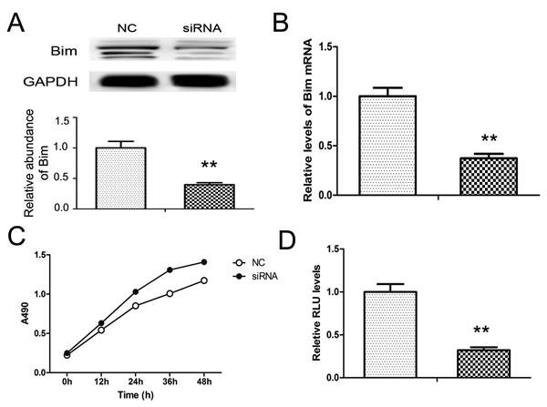 Knock-down of Bim in PANC1 cells.