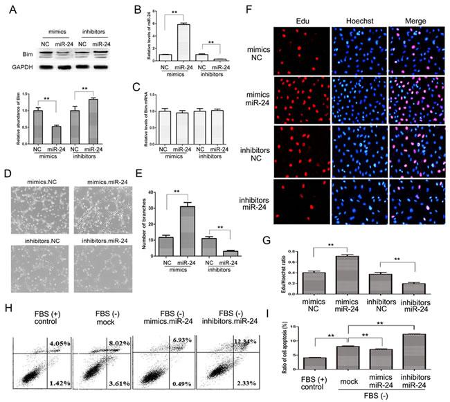 The miR-24-Bim pathway regulates angiogenesis.