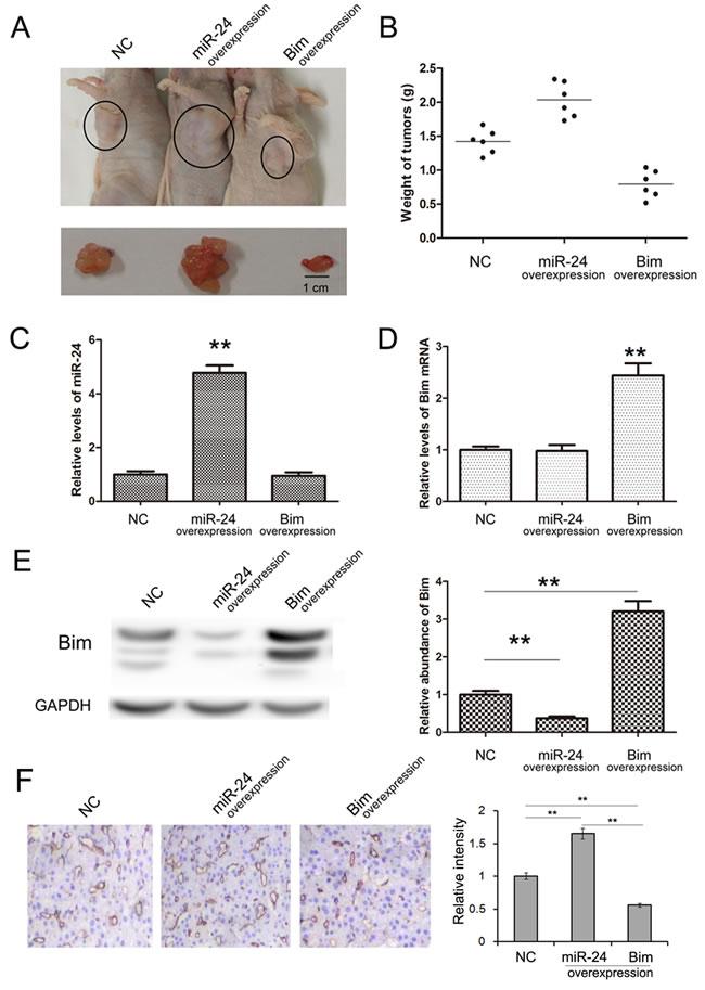 Effects of miR-24-Bim pathway on tumor growth
