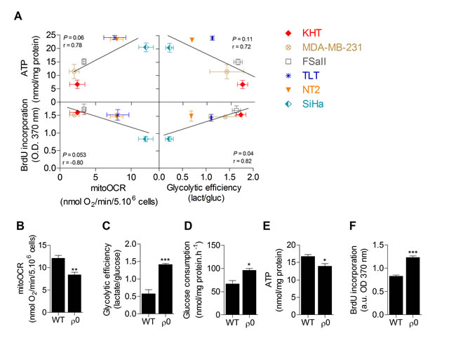 Glycolytic efficiency is positively linked to proliferation but not to ATP levels in cancer cells.