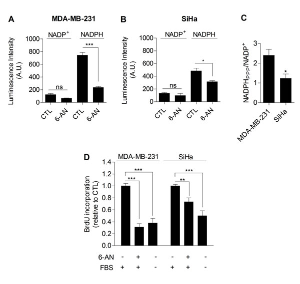 The PPP differentially supports proliferation in glycolytic and oxidative cancer cells.