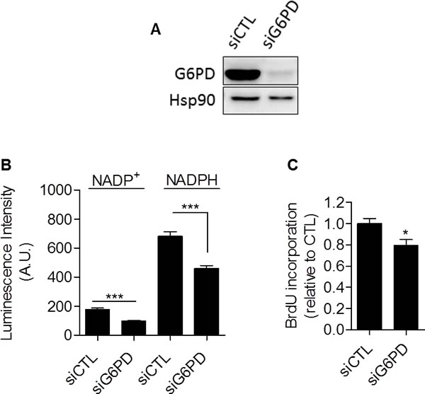 Glucose-6-phosphate dehydrogenase inhibition with siRNA reduces proliferation of glycolytic cancer cells.