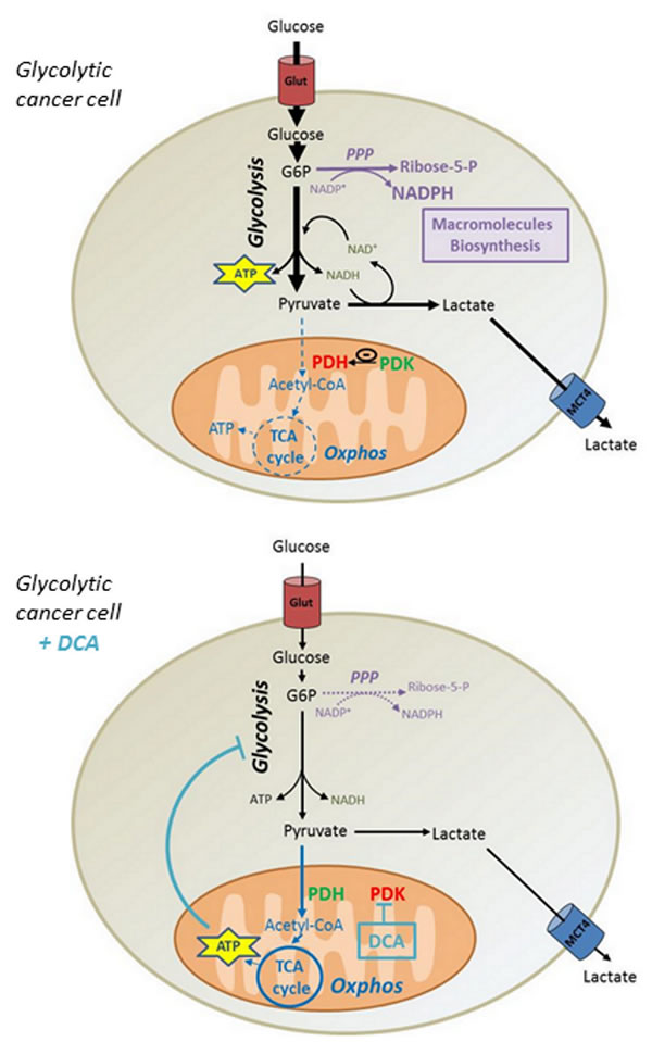 Mechanism by which DCA controls proliferation of glycolytic cancer cells.