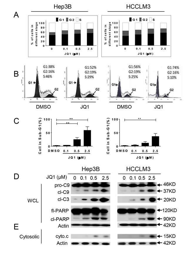 JQ1 arrests cell cycle in the G1 phase and induces apoptosis in HCC cells.