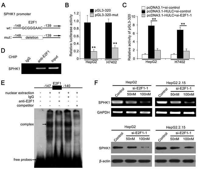 Transcription factor E2F1 activates SPHK1 promoter by binding to the promoter region.