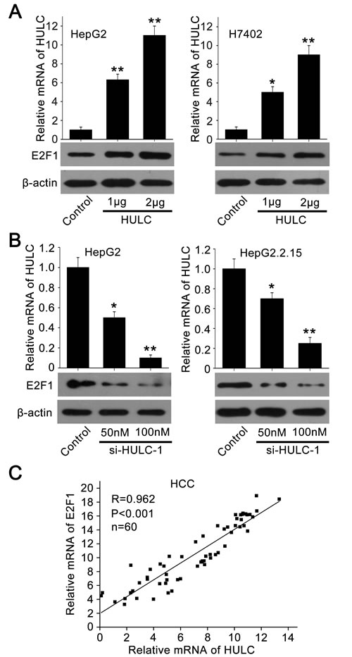 HULC is able to increase the expression of E2F1.