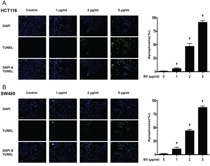 Effect of BV on apoptotic cell death.