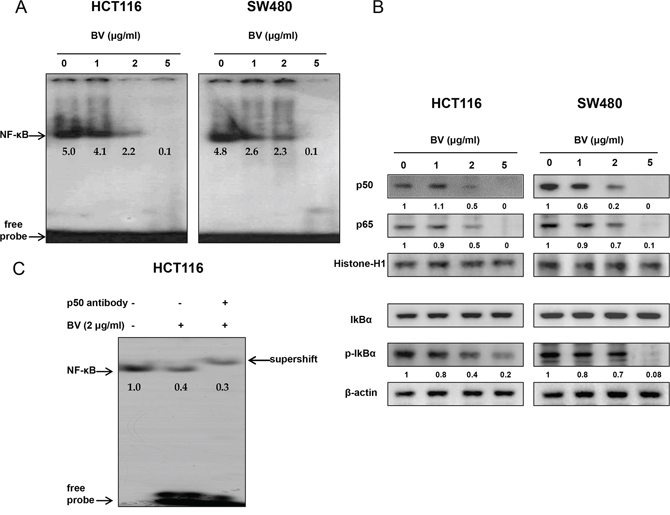 Effect of BV on NF-κB activation in colon cancer cells.