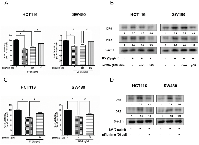 Effect of p53 siRNA transfection or p53 inhibitor (pifithrin-α) on BV-treated colon cancer cell growth and expression of DR4 and DR5.