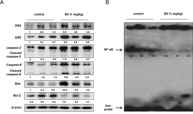 Effect of BV on the expression of apoptosis regulatory proteins and on the DNA binding activity of NF-κB in vivo.