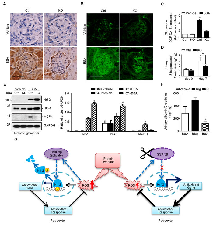Mice with podocyte specific ablation of GSK3β demonstrate a reinforced Nrf2 antioxidant response in glomerulus upon protein overload.
