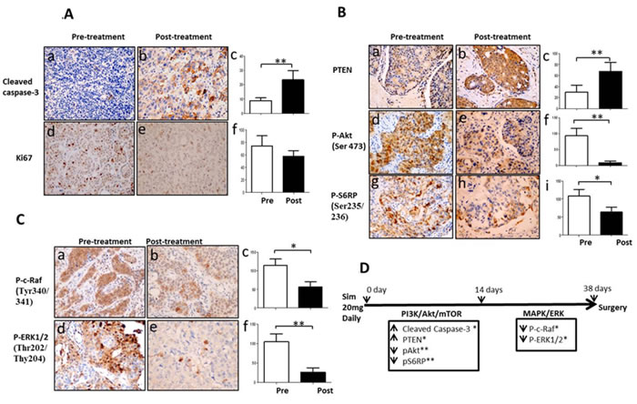 Simvastatin induced apoptosis, inhibited proliferation and deactivated PI3K/Akt/mTOR and MAPK/ERK pathways in a window-of-opportunity trial of breast cancer.