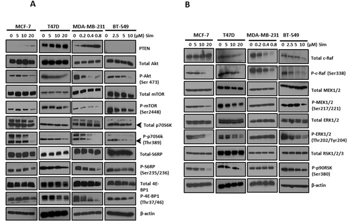 Simvastatin deactivated PI3K/Akt/mTOR and MAPK/ERK pathways in breast cancer cells.