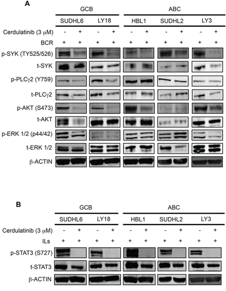 Cerdulatinib blocks JAK/STAT and BCR signaling in both ABC and GCB DLBCL cell lines.