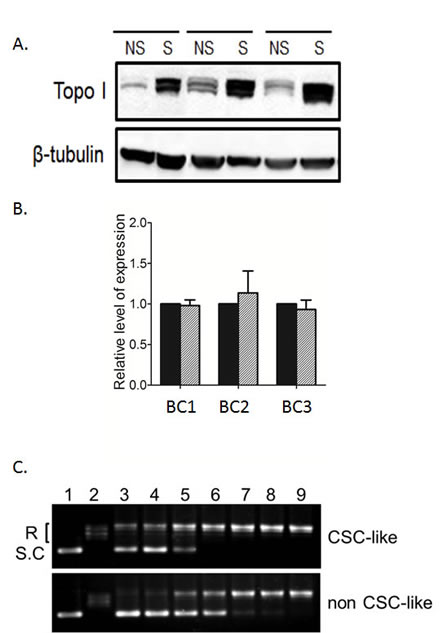 Elevated Topo I levels and activity in breast CSC-like cells.