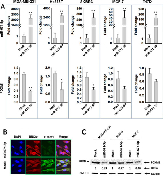 miR-671-5p negatively regulates FOXM1 expression in breast cancer cell lines.