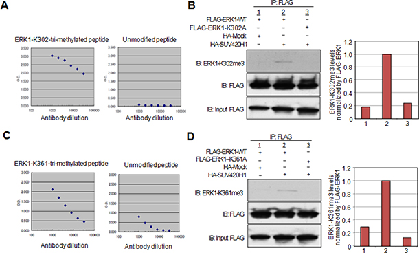 Confirmation of lysine 302 and lysine 361 methylation by specific antibodies in vivo.