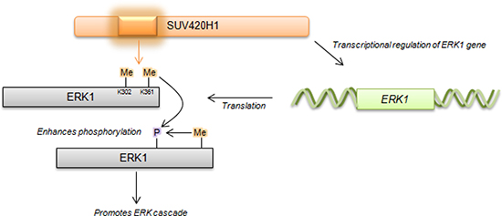 Proposed schematic of SUV420H1-mediated methylation on ERK1 activity.