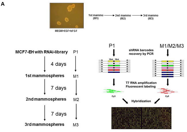 Positive selection shRNA screen mammosphere formation.