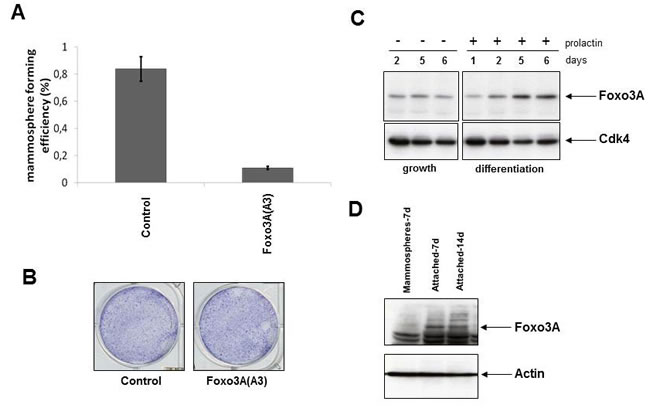 Modification of FOXO3A activity results in a change in number of mammospheres.