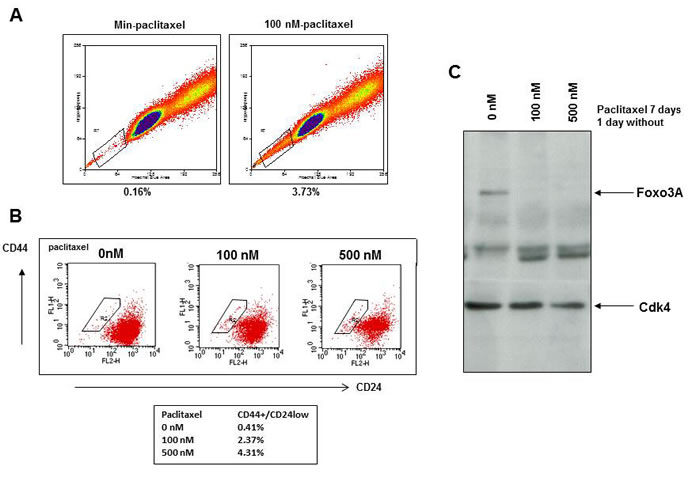 Paclitaxel treatment selects for breast cancer cells with a stem cell phenotype and low FOXO3A expression.