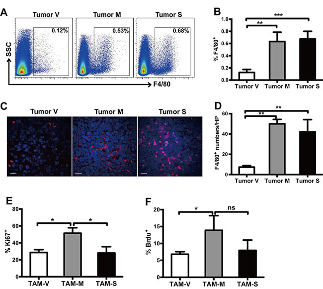 Both mM-CSF and sM-CSF promote infiltration and survival of TAMs.