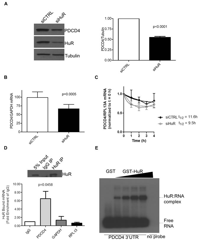 HuR directly binds to PDCD4 3'UTR mRNA to regulate its protein expression.