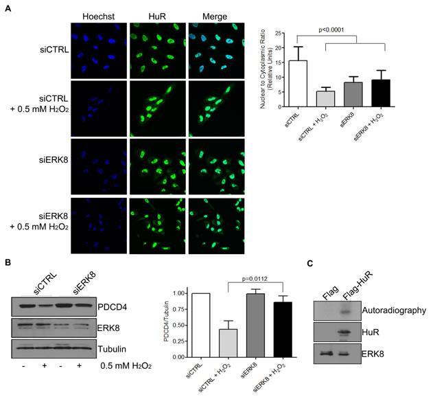 ERK8 phosphorylates HuR to prevent its binding to PDCD4 mRNA.