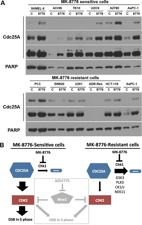 Impact of MK-8776 on CDC25A levels in sensitive and resistant cells.
