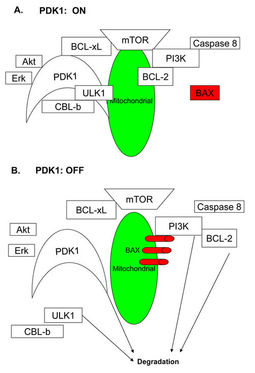 The model for the role of PDK1 in AML cell growth.