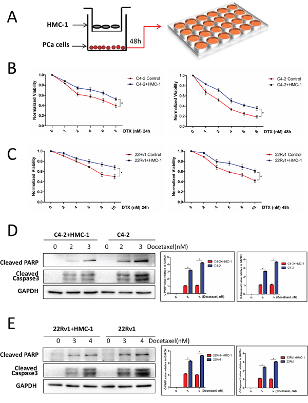 PCa cells co-cultured with mast cells show chemotherapy resistance.