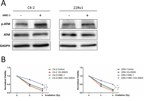 Mechanism why recruited mast cells can alter radiotherapy sensitivity.