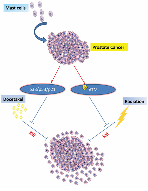 Mechanisms and regulatory pathways of mast cells promoted PCa docetaxel and radiation resistance.