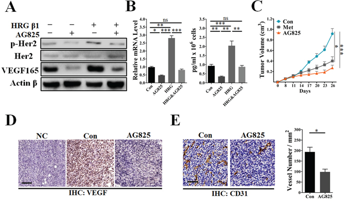 AG825 decreased HER2 signaling-induced VEGF expression and suppressed tumor angiogenesis.