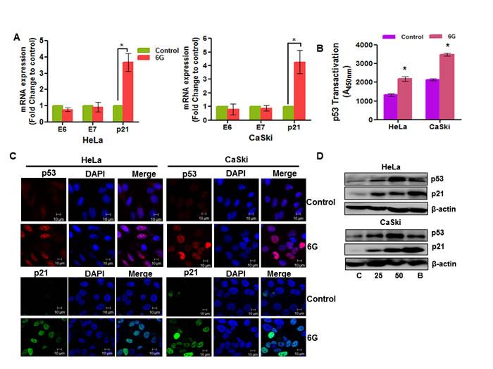 6G induces p53 reactivation in cervical cancer cells.
