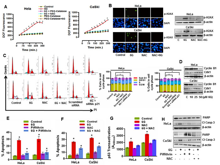 6G induced ROS and DNA damage enhances p53 dependent G2/M cell cycle arrest in cervical cancer cells.