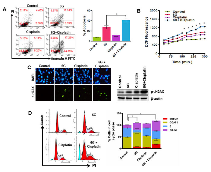 6G potentiates cisplatin induced cytotoxicity in HeLa cells.