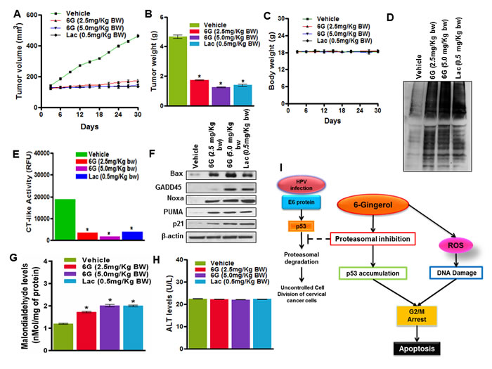6G inhibits tumor growth in a HeLa xenografts model.