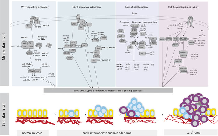 An overview of key signaling pathways in CRC and the regulation of their components by miRNAs.