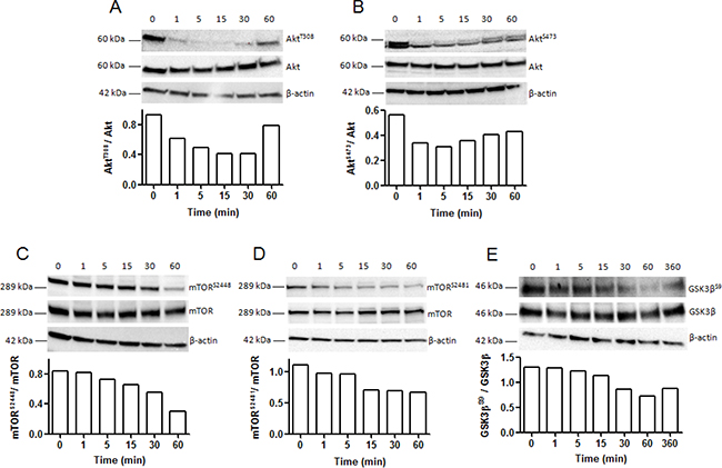 Kinetic analysis of Akt, mTOR and GSK3β phosphorylation in SK-MEL-28 melanoma cells after incubation with NC1(XIX).