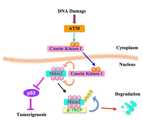 A proposed role for the ATM in β-TRCP-mediated Mdm2 ubiquitination and destruction.