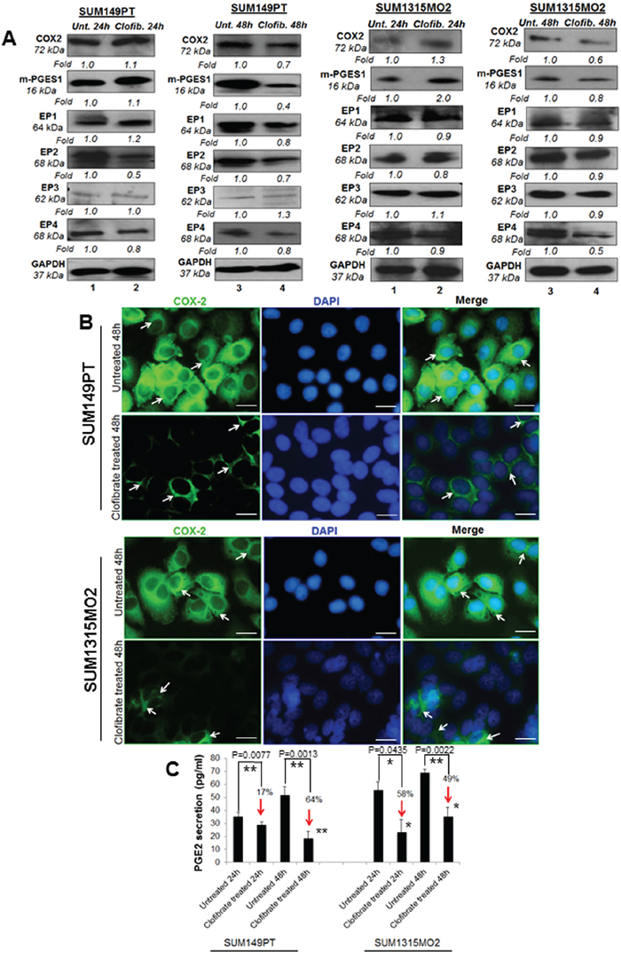 Effect of clofibrate treatment on the cyclooxygenase pathway.